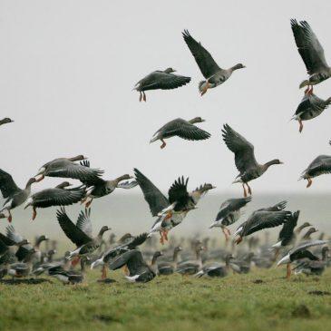'Laat agrariërs niet boeten voor ganzenschade'